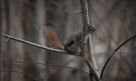 A Red squirrel follows me around where he lives in the woods near a cottage. Mr. Red squirrel follows me around where he lives in the woods near a cottage Royalty Free Stock Photos