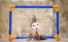 Red squirrel with an football. Red squirrel with a football Stock Photos