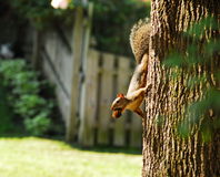 Red squirrel foraging. Red squirrel carrying a nut down the side of a tree royalty free stock photography