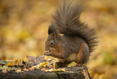 Red squirrel foraging in autumn leaves royalty free stock images