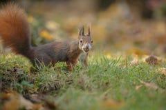 Red squirrel Stock Photos