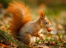 Red squirrel foraging for hazelnuts Royalty Free Stock Photo