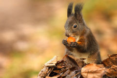 Red squirrel foraging Stock Photos