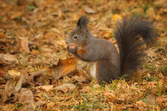 Red squirrel foraging under a hazelnut tree Royalty Free Stock Photo