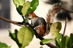 Red Squirrel in the forest Stock Photos
