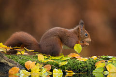 Red squirrel. In a forest during autumn royalty free stock photos