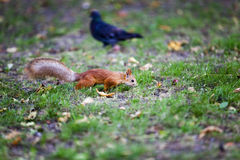 Red squirrel .  forest Royalty Free Stock Image