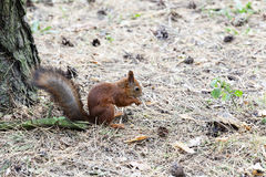 Red squirrel .  forest Stock Photo