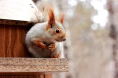 Red squirrel in the forest royalty free stock images