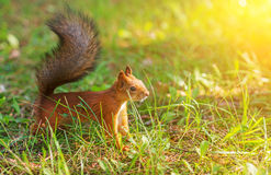 Red squirrel. Stock Photography