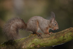 Red squirrel in forest. A red squirrel steals a hazel nut stashed on an old branch royalty free stock photos