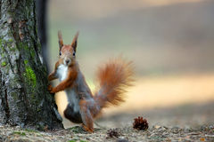 Red squirrel in the forest Stock Images