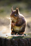 Red Squirrel. At Formby, Liverpool, UK royalty free stock images