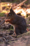 Red Squirrel. At Formby, Liverpool, UK stock image