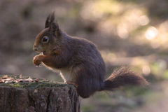 Red Squirrel. At Formby, Liverpool, UK stock images