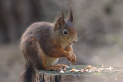 Red Squirrel. At Formby, Liverpool, UK royalty free stock image