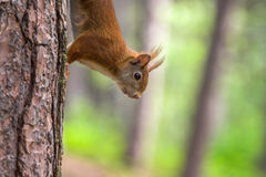 Red Squirrel in Formby nature reserve England Stock Photography