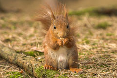 Red Squirrel in Formby nature reserve England Royalty Free Stock Photos