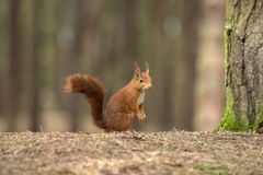 Red Squirrel in Formby nature reserve England Stock Image
