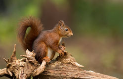 Red Squirrel. In the forrest Stock Photo