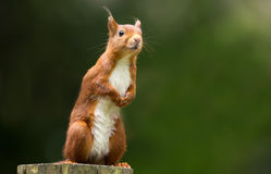 Red Squirrel. In the forrest Stock Images