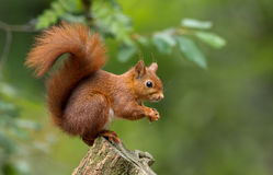 Red Squirrel. In the forrest Stock Photos