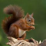 Red Squirrel. In the forrest royalty free stock photography