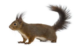 Red squirrel. In front of a white background royalty free stock photos