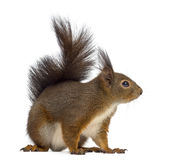 Red squirrel. In front of a white background stock photos