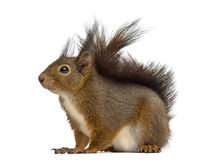 Red squirrel. In front of a white background royalty free stock image