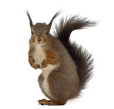 Red squirrel. In front of a white background royalty free stock photo