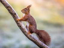 Red squirrel on frosty branch. Red squirrel (Sciurus vulgaris) Animal on frosty branch on cold morning while looking for threats stock photography