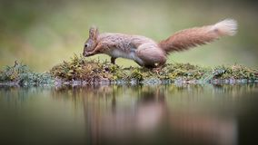 Red squirrel funny photograph. A funny amusing photograph of a red squirrel on the edge of a pool with reflection appearing to be dancing the Hokey Cokey stock photo