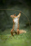 Red Squirrel in funny pose. stock image