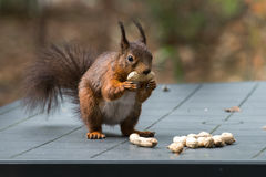 Red squirrel on garden table full of peanuts. Red squirrel on garden table. Taking one of the many peanuts laying on the table Royalty Free Stock Photos