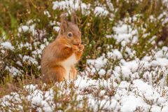 Red squirrel gathering food Stock Photography