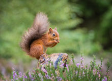 Red squirrel gathering food Stock Image