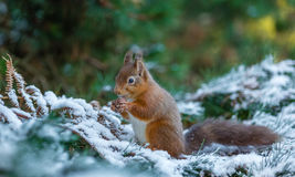 Red squirrel gathering food during Winter Royalty Free Stock Image