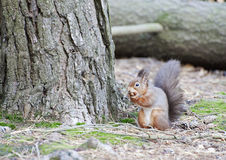 Red Squirrel Gathering. A Red Squirrel foraging for food to store for the winter stock photography