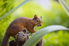 Red Squirrel. Gathering some nuts Stock Image