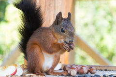 Red Squirrel gnawing nuts. In box Royalty Free Stock Image