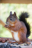 Red Squirrel gnawing nuts. In box Royalty Free Stock Images