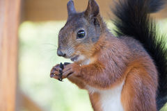 Red Squirrel gnawing seeds. In box Stock Photos