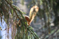 Red squirrel gnaws buds of birch on a branch Stock Photos
