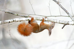Red squirrel gnaws buds of birch on a branch Stock Images