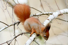 Red squirrel gnaws buds of birch on a branch Royalty Free Stock Photo