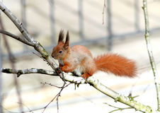 Red squirrel gnaws buds of birch on a branch Stock Photography