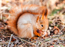 Red squirrel gnaws cone fir. In the park stock image