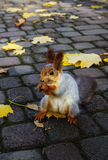 Red squirrel  gnaws a nut Stock Photo
