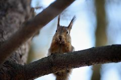 Red squirrel gnaws nuts on branch Stock Image